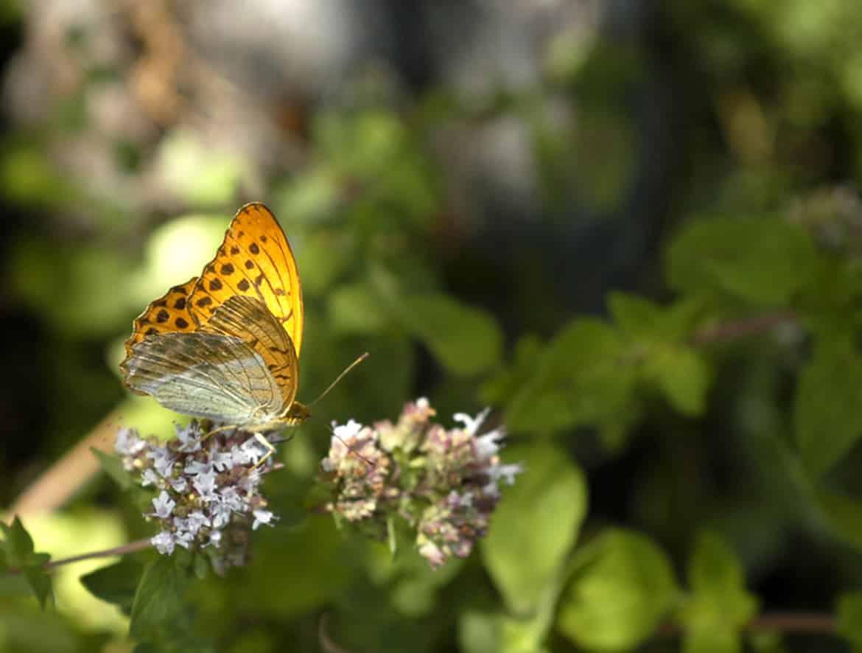 papillon03